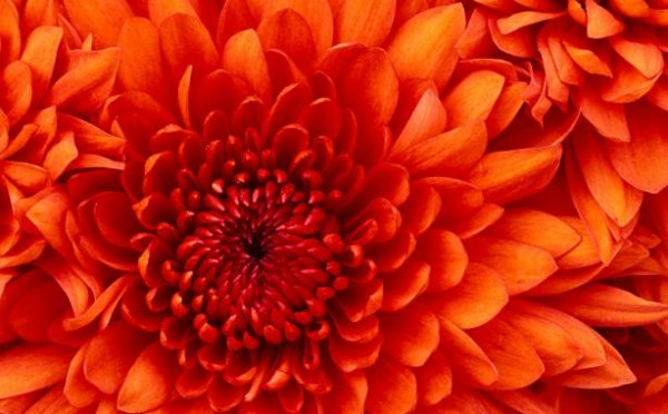 Chrysanthemum0
